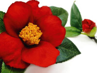 p30_Camellia.jpg